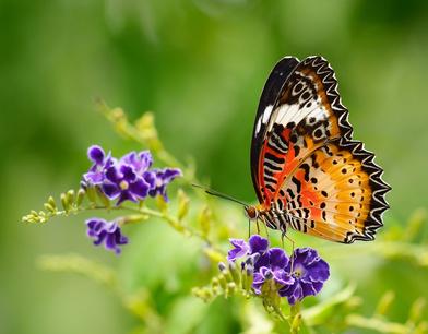 Schmetterlinge im Garten ansiedeln – So geht's!