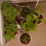 Hydroponische Pflanzenzucht – frisches Gemüse und Kräuter zu jeder Jahreszeit