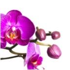 Orchideenpflege leicht gemacht – Mit diesen Tipps und Tricks zur vollen Blüte
