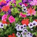 Balkonpflanzen für sonnige Tage
