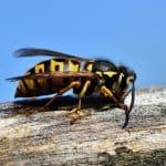 Wespen vertreiben: Hilfreiche Tipps